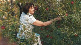 Ältere Frauen-Auswahl Äpfel stock video footage