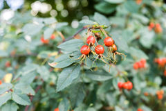 Ältere Frucht auf Anlage Stockfotos