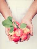 Ältere Hände, die frische Äpfel mit Weinleseart halten Stockbild