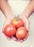 Ältere Hände, die frische Tomaten mit Weinleseart halten Lizenzfreie Stockbilder