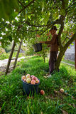 Ältere Landwirtsammelnäpfel Lizenzfreies Stockbild