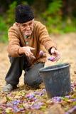 Ältere Landwirtsammelnpflaumen Lizenzfreie Stockfotos