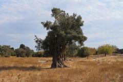 Ältere Olive Tree Stockbild