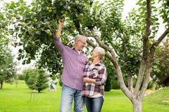 Ältere Paare mit Apfelbaum am Sommer arbeiten im Garten Lizenzfreies Stockfoto