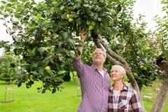 Ältere Paare mit Apfelbaum am Sommer arbeiten im Garten Lizenzfreies Stockbild