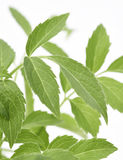 Ältere Pflanzenblätter Lizenzfreie Stockbilder