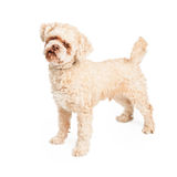 Ältere Pudel-Hundestellung Stockfotos