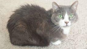 Ältere weibliche graue und weiße Katze Lizenzfreie Stockfotografie