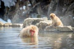 Älterer Affe, der in der heißen Quelle badet Lizenzfreie Stockbilder