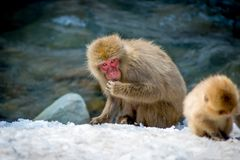 Älterer Affe, der nach Lebensmittel im Schnee sucht Stockfoto
