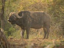 Älterer Büffel, der im Sonnenunterganglicht steht Stockfoto