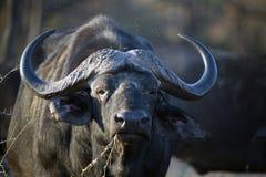 Älterer Büffel, der trockenes Gras isst Stockbild