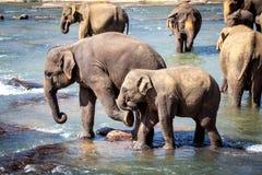 Älterer Elefant, der jungen Elefanten beim Baden im Fluss tritt Stockfotos