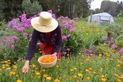 Älterer Frauengärtner, der medizinische Blumen Ringelblume Calendula erfasst Lizenzfreies Stockbild