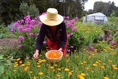 Älterer Frauengärtner wirh Strohhutsammeln-Ringelblume Calendula blüht Lizenzfreies Stockfoto