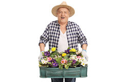 Älterer Gärtner, der ein Gestell von Blumen hält Lizenzfreies Stockbild