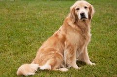 Älterer goldener Apportierhund-Hund lizenzfreies stockbild