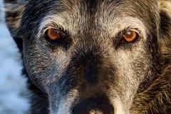 Älterer Hund, der ernsten Blick gibt Stockfotografie