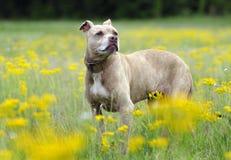 Älterer Hund Pitbull Terrier im Gelb blüht Porträt lizenzfreies stockbild