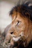 Älterer männlicher Löwe stockfoto