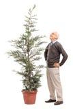 Älterer Mann, der einen eingemachten Koniferenbaum betrachtet stockbild