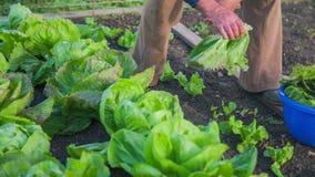 Älterer Mann, der einheimisches natürliches Gemüse vom Garten sammelt
