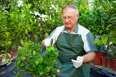 Älterer Mann interessiert sich für Zitrusfruchtanlagen im Gewächshaus Lizenzfreie Stockfotos