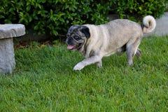 Älterer Pug geht auf Gras Stockfotografie