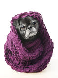 Älterer Pug im warmen Schal Lizenzfreie Stockfotos