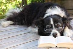 Älterer Rand-Collie-Hund, der mit einem Buch sich entspannt Stockbilder