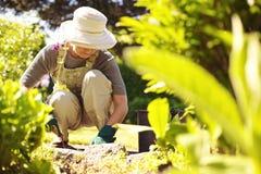 Älterer weiblicher Gärtner, der in ihrem Garten arbeitet Stockbilder