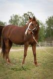 Älteres arabisches braunes und weißes reifes Pferd in bereitstehender Scheune der Weide Stockfotografie