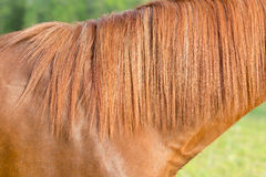 Älteres arabisches braunes und weißes reifes Pferd in der Weide Lizenzfreies Stockfoto