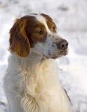 Älteres rotes und weißes Setterportrait Lizenzfreies Stockfoto