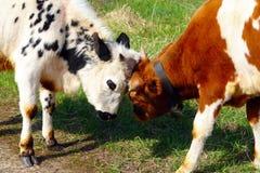Ände för två tjurar på en äng Arkivfoton