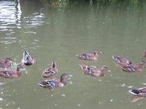 Änder damm, vatten, regnig dag, natur Fotografering för Bildbyråer