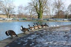 Änder, duvor & svanar på den offentliga listeren parkerar sjön i Bradford England Arkivbilder