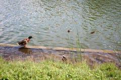 Änder, gässen och duvor simmar i dammet och promenerar kusten Arkivbild
