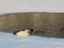 Änder i ett damm i vinter Royaltyfri Bild