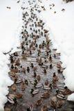 änder i floden Royaltyfri Fotografi