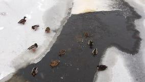 Änder i isen och snön arkivbilder