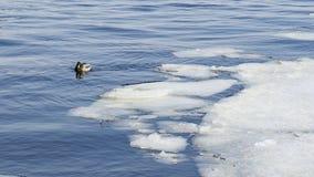 Änder i iskallt väder för vatten in fine Arkivfoton