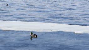 Änder i iskallt väder för vatten in fine Arkivfoto