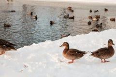 Änder i near vatten för vinter Arkivbild