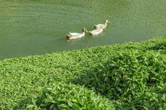 Änder i vatten av sjön Royaltyfria Foton