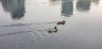 Änder i vattnet arkivfoton