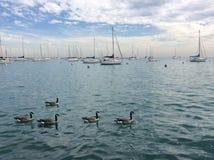 Änder i vattnet Royaltyfri Foto