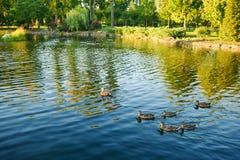 Änder och en anka simmar på vatten i dammet Fotografering för Bildbyråer