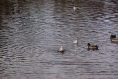 Änder och fåglar i ett iskallt vatten Arkivbild