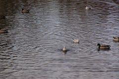 Änder och fåglar i ett iskallt vatten Royaltyfri Foto